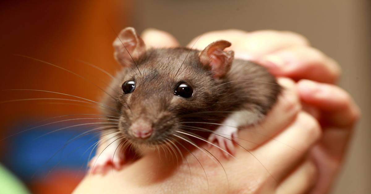 Brown pet rat