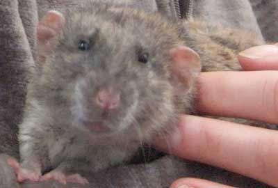 Animal Thoughts - Rats Advice For Humanity
