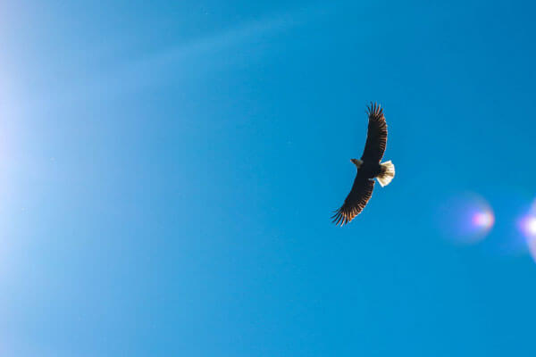 Eagle soaring in blue sky with lens flare from the sun