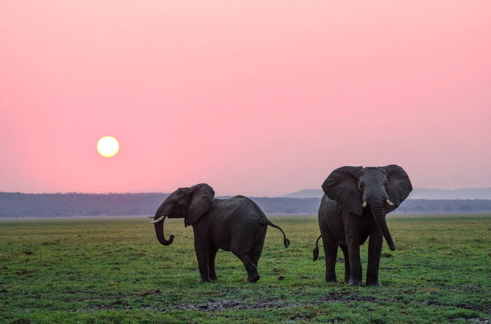 two elephants at sunset on grass with pink sky