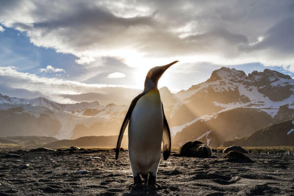 Penguin standing with snow capped mountains behind and rays of sunshine through clouded sky illuminating the ocean